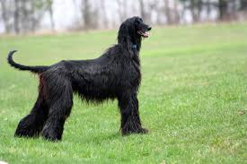 afghan hound ottawa what about paris international business archives