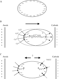 cellular mechanisms of direct current electric field effects