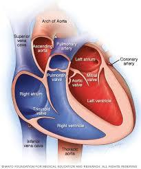 Diagram Heart Anatomy 25 Best Heart Valves Ideas On Pinterest Cardiac Nursing Emt
