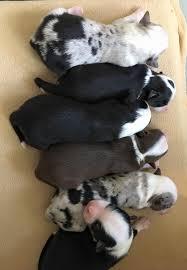 double j ranch australian shepherds texas miniature australian shepherd puppies for sale