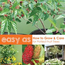 how to grow fruit trees in pots plant position watering
