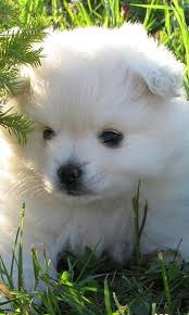 american eskimo dog youtube toy american eskimo dog puzzle android apps on google play