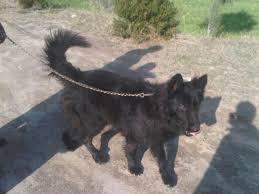 belgian sheepdog puppies texas belgian shepherd groenendael pups for sale double coat