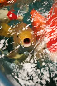 what you need to know about heating your koi pond sacramento you can just set the heater to maintain a minimum temperature all year long without ever touching it this means that in the fall as the water temperature