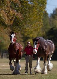 thanksgiving parade welcomes clydesdales san antonio express news