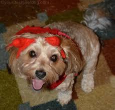 halloween costumes for yorkies dogs my little devil yourdesignerdog