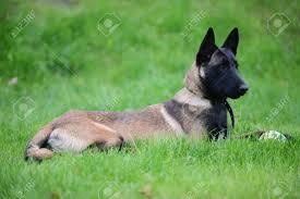 belgian malinois dog dog belgian malinois lies on grass stock photo picture and