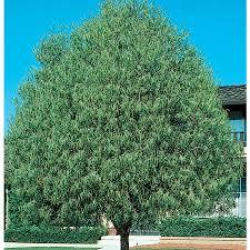 australian native shade plants shop 10 25 gallon australian willow shade tree l9406 at lowes com