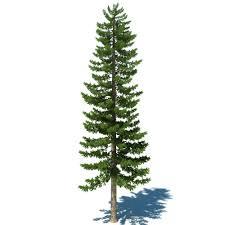 1000x1000px 149 2 kb pine tree 429093