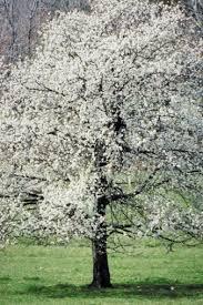 how to prune ornamental pear trees hunker