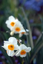 white spring flowers free stock photo public domain pictures