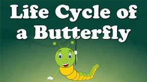 cycle of a butterfly