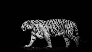 wallpaper black tiger hd tigers backgrounds 69 images