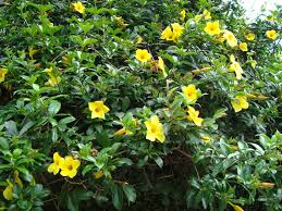the yellow allamanda allamanda cathartica the buttercup flower