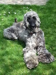 afghan hound collie mix afghan hound puppies funny puppy u0026 dog pictures