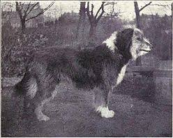 bearded collie x terrier bearded collie wikipedia