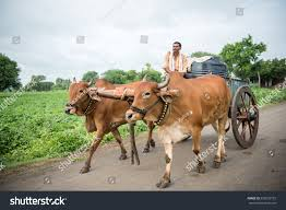 indian cart salunkwadi india august 12 2016 rural stock photo 533555722