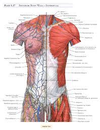 Anatomy Pancreas Human Body Anatomy Skeletal Muscle Gallery Learn Human Anatomy Image