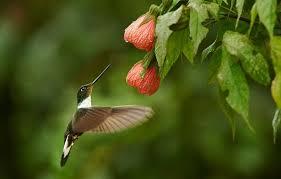 Hummingbird Flowers Wallpaper Bush Hummingbird Flowers Bird Images For Desktop