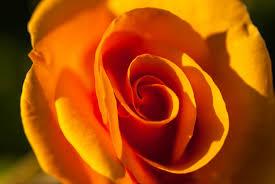 orange rose colour black u0026 white great dunmow foakes hall