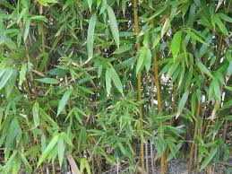 black bamboo plants how to care for black bamboo in gardens