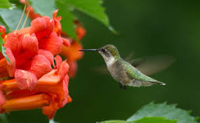 hummingbirds are their numbers dwindling and where are they going