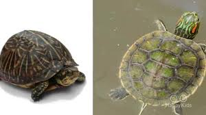 animal facts what is the difference between turtles and