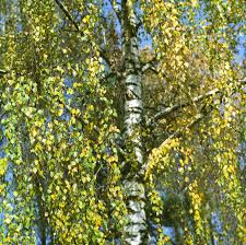 weeping silver birch trees learn about weeping silver birch