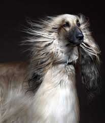 afghan hound long haired dogs 10 cool facts about afghan hounds afghan hound