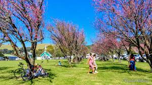 70 000 attend waimea cherry blossom heritage festival big island now