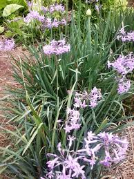 guide to growing spring onions the micro gardener