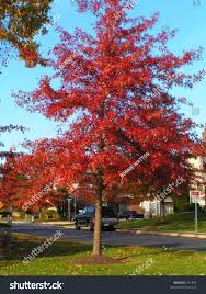 pin oak tree red fall foliage stock photo 701852 shutterstock