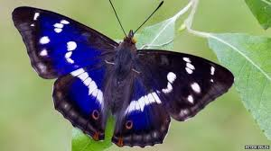 purple emperor the butterfly that feeds on rotting flesh