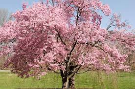 trees with pink flowers cherry prunus spp by jim deacon whether you prefer flowers or