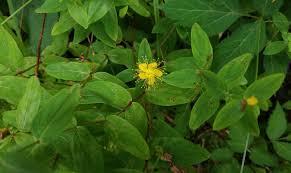 cullowhee native plant conference hypericum identification western carolina botanical club
