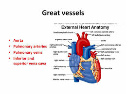 External Heart Anatomy External Heart Anatomy 806 Heart Lab Human Anatomy Diagram
