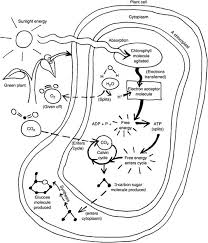 Photosynthesis Coloring Worksheet Photosynthesis Coloring Page 7 Photosynthesis Coloring Page