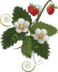 strawberry margarita clipart strawberry bush clipart 7