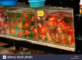 ornamental fish for sale in the market in hong kong china