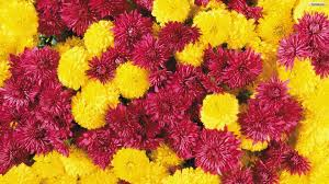 yellow daisy wallpapers yellow and red wallpaper 59 images