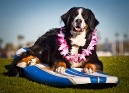 Hawaii how to travel with a dog images So cal surf dogs news flsah jpg