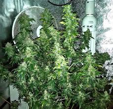 cannabis im garten die besten 25 hydroponics setup ideen auf