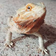 ultimate bearded dragon care sheet bearded dragon tank