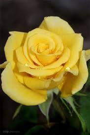 yellow rose in queen u0027s rose garden london nature landscaping