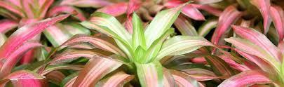 plants native to scotland the best locations to grow bromeliads bromeliads info
