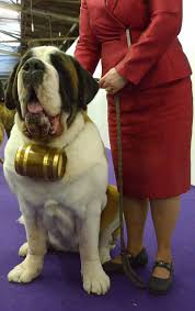 westminster australian shepherd 2014 sassy the st bernard westminster kennel club dog show 2014