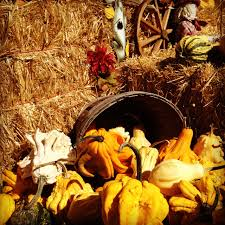 decoration ideas casual picture of fresh orange gourds and