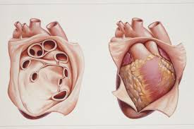 Anatomy Of The Heart And Its Functions Pericardium Anatomy Of The Heart