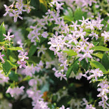 trachelospermum u0027pink shower u0027 climbing plants van meuwen