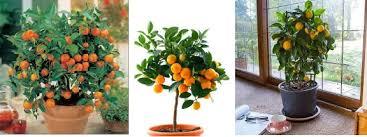 grow orange trees indoors